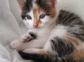 Stunning Maine Coon x kittens for sale