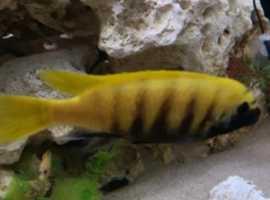 golden kawanga
