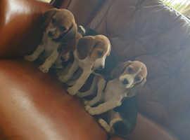 *Fantastic Litter Of Tri-Coloured Beagle Puppies*