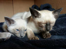 Siamese Kittens for Sale!!!