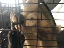 Gorgeous ferret jills