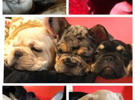 2x french bull dog puppies