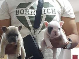 White, Fawn, Blue & Lilac French Bulldog Pups