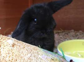 Mini Lop Rabbits