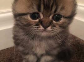 Pedigree Persian tabby kittens for sale
