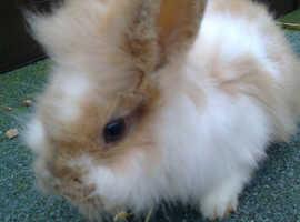 Lionhead Female Rabbit 11Weeks Old