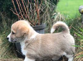Pembrokeshire corgi pups