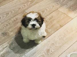 Lhasa Apso puppy 5 months old