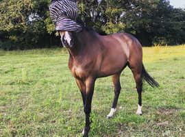 Allrounder gelding