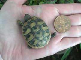 Hermann tortoise hatchlings for sale