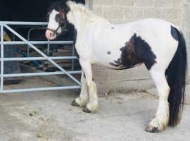 13.2 beautifully natured cob mare
