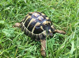Male Hermann tortoise