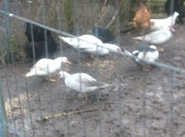 WAnted chickens