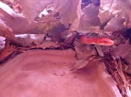 Amelanistic corn snake with Vivarium for sale Pink and Orange Basingstoke