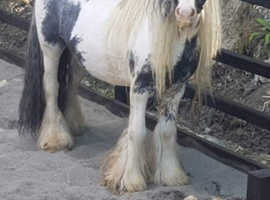 Eye catching splash Mini Traditional Gypsy cob stallion