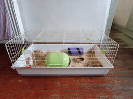 Female Guinea pig 20mths old free to collect