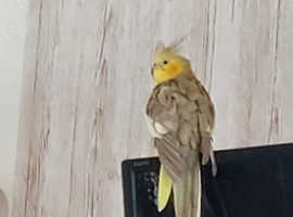 Tamed cockatiel calm and fruit and veg eating