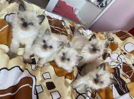 Adorable Ragdoll Kittens