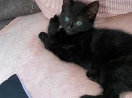 8 week old black kitten