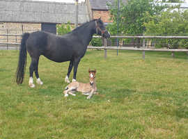 Registered Welsh C broodmare