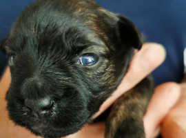 Jack Tzu cross patterdale terrier puppies