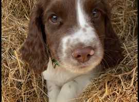 Springer Spaniel Puppies looking for their forever homes.