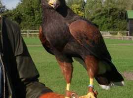 Project harris hawks wanted.