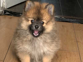 Pomeranian puppy 1 left
