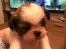 Shihzu pups only 2 boys 1 girl left