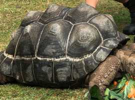 Giant Aldabra Tortoises x 2 For Sale Big And Healthy