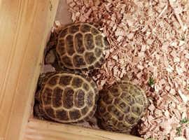 Baby horsefield tortoises for sale