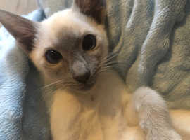 Beautiful traditional blue point siamese