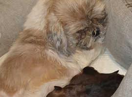 Gorgeous shorkie puppies
