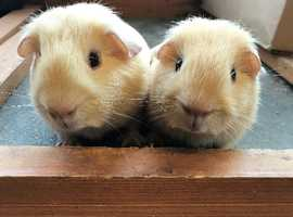 Sweet bonded pairs of baby guinea pig boars - £40 the pair