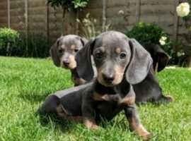 Blue and Tan Miniature Dachshunds
