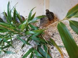 Japanese quail flock pol