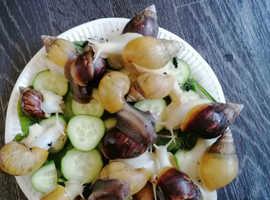 African land snails