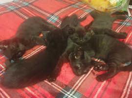 6 beautiful & unique bombay kittens