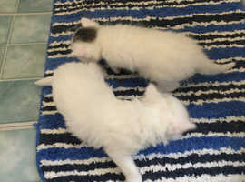 4 Beautiful kittens for sale ONLY TWO WHITE KITTENS IS STILL AVAILABLE