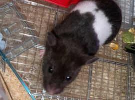 Hamster ***Kiwi***