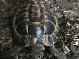 hermann tortoise male