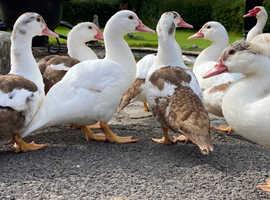 Trio of Muscovy Ducks