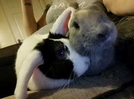 X2 mini lop rabbits