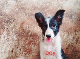 Border cross welsh pups