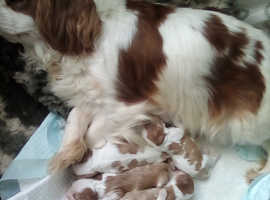 Beautiful litter of puppies from health tested parents