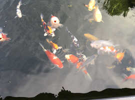 30 mixed size Koi for sale
