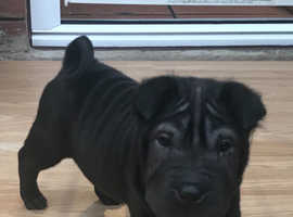 Beautiful Shar-pei puppy
