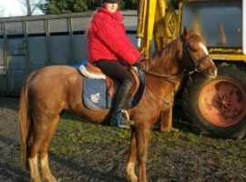 schoolmistress welsh pony
