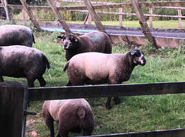 Pedigree Blue Texel Ewe & Ram Lambs 2019 season