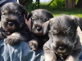 Stunning Standard Schnauzer puppies